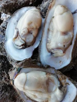 这是一张关于北部湾生蚝 人工殖养 3-5只/龙8国际官网官方网站的产品图片