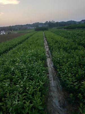 这是一张关于沃柑苗 嫁接苗 0.5~1米的产品图片