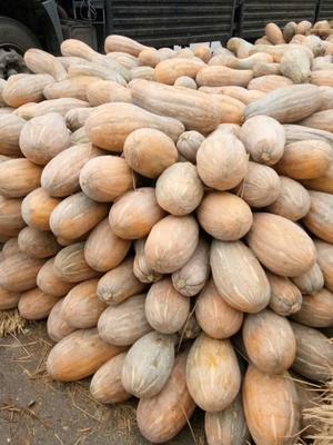 湖南省长沙市天心区兴蔬蜜本南瓜 10~15斤 长条形