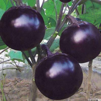 湖南省长沙市浏阳市紫光圆茄 5两以上