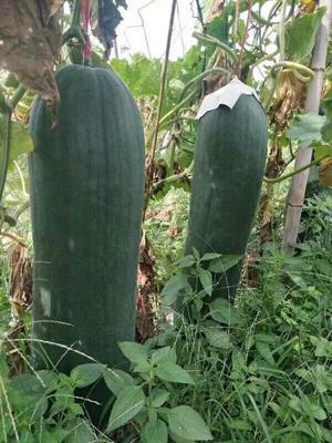 广西壮族自治区北海市海城区吊冬瓜 20斤以上 硬毛