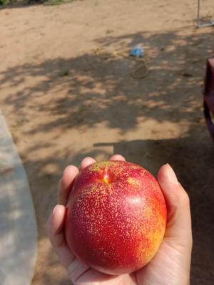 山东省青岛市平度市126油桃 3两以上 50mm以上