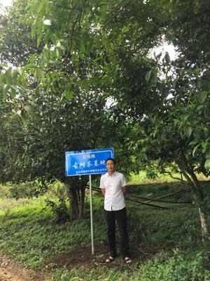 云南省临沧市凤庆县老树普洱 礼盒装 特级