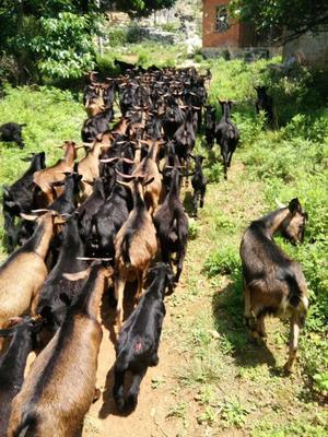 贵州省安顺市紫云苗族布依族自治县黑山羊 300斤以上