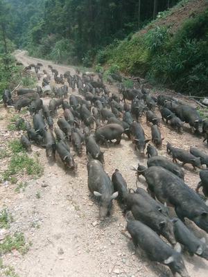 广西壮族自治区河池市天峨县黑山猪 80斤以上 统货