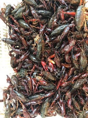 这是一张关于潜江小龙虾 人工殖养 7-9钱的产品图片