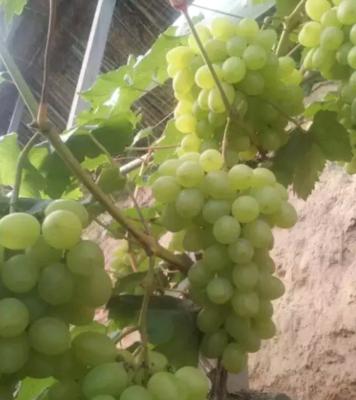 这是一张关于维多利亚葡萄 5%以下 1次果 1.5- 2斤的产品图片