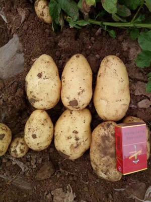 辽宁省锦州市凌海市荷兰15号土豆 2两以上