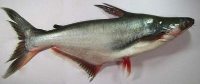广西壮族自治区南宁市西乡塘区巴沙鱼 人工养殖 4-6公斤