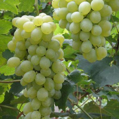 河北省邢台市柏乡县维多利亚葡萄 5%以下 1次果 1.5- 2斤
