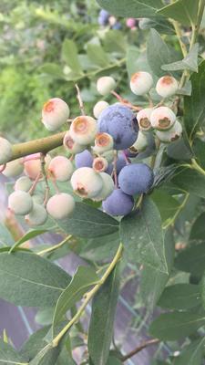 这是一张关于兔眼蓝莓 鲜果 12 - 14mm以上的产品图片