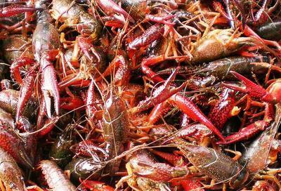 这是一张关于清水小龙虾 人工殖养 3-5钱的产品图片