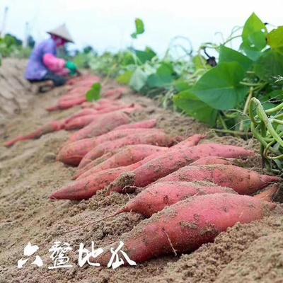 这是一张关于番薯 红皮 3两以上的产品图片