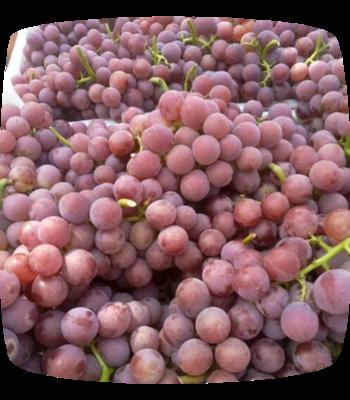 河北省邢台市威县巨峰葡萄 5%以下 1次果 1-1.5斤