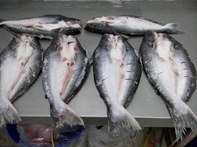 广西壮族自治区防城港市东兴市巴沙鱼 人工养殖 1-1.5公斤