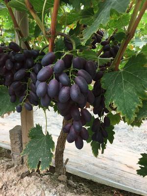 河北省衡水市饶阳县A09葡萄 5%以下 1次果 1-1.5斤
