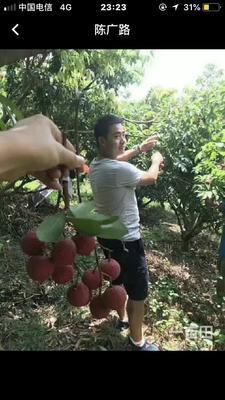 广西壮族自治区玉林市玉州区黑叶荔枝 1.5cm