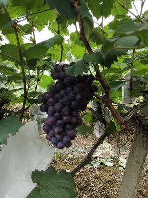 广西壮族自治区桂林市全州县夏黑葡萄 5%以下 1次果 1-1.5斤