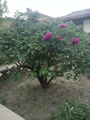 山东省菏泽市牡丹区牡丹树 6~8cm 4~6cm 1.5~2米