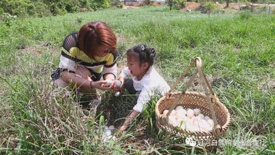 福建省龙岩市新罗区白鸭蛋 食用 礼盒装