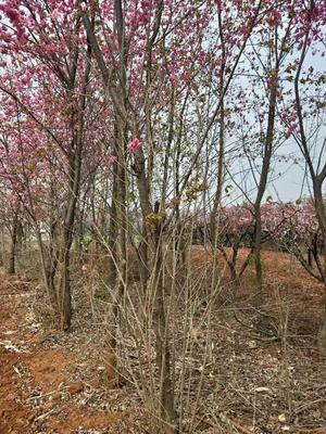 云南省昆明市官渡区云南樱花 12~14公分 5米以上