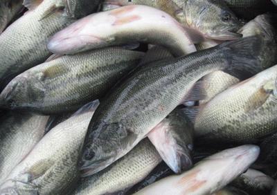 浙江省湖州市德清县加州鲈鱼 人工养殖 0.5公斤以下