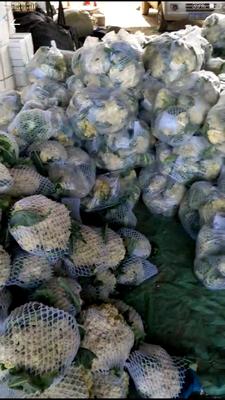 山东省青岛市黄岛区白面青梗松花菜 适中 2~3斤 乳白色
