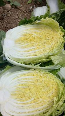 河北省唐山市玉田县玲珑黄白菜 6~10斤 二毛菜