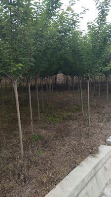 四川省成都市温江区日本红叶樱花 4~6公分 3~3.5米