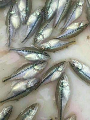四川省眉山市东坡区淡水鲈鱼 人工养殖 0.5公斤以下