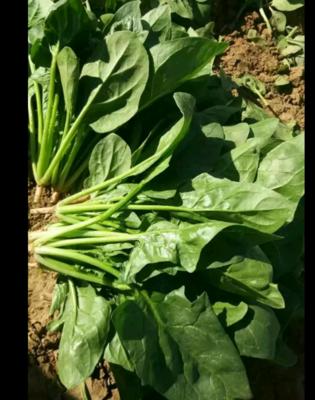 河北省张家口市沽源县大叶菠菜 20~25cm