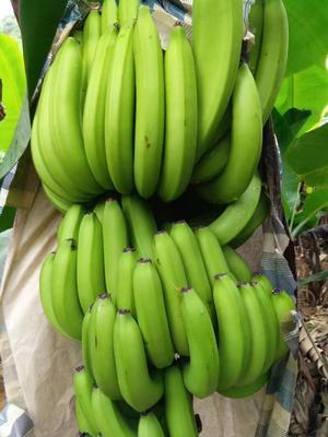 这是一张关于广西蕉 七成熟 50 - 60斤的产品图片
