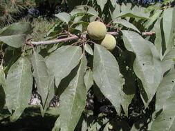 山西省运城市绛县桃树种子