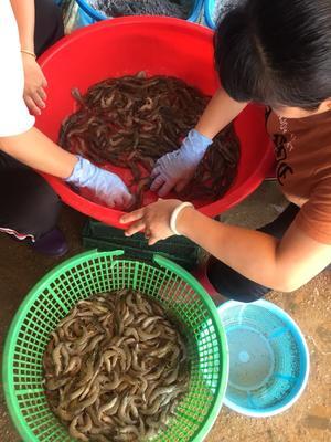 广东省潮州市饶平县南美对虾 野生 9钱以上