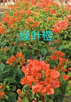 云南省昆明市呈贡区绿叶橙三角梅袋苗 0.2米以下