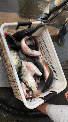 河北省保定市南市区池塘鲤鱼 人工养殖 1-2.5公斤