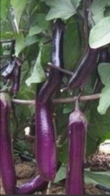 贵州省黔南布依族苗族自治州平塘县紫长茄 5两以上