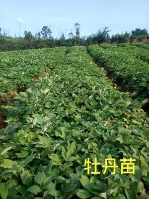 云南省文山壮族苗族自治州文山市油用牡丹种苗 2~4cm 4cm以下 0.5米以下