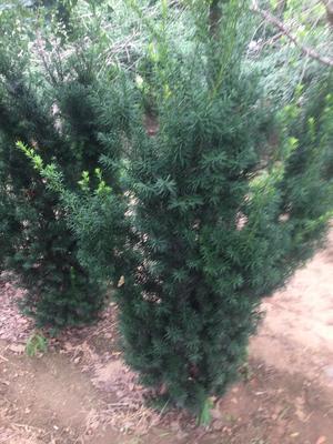 山东省烟台市招远市曼地亚红豆杉 1.5~2米