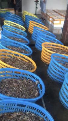 广东省江门市蓬江区南美对虾 人工殖养 2-4钱