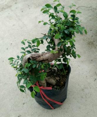 广东省广州市荔湾区小叶榆树