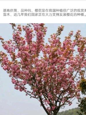 山东省泰安市岱岳区日本红叶樱花 4~6公分 2~3米