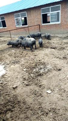 河北省唐山市滦县藏香猪 60斤以上