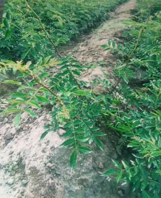 陕西省渭南市韩城市无刺花椒