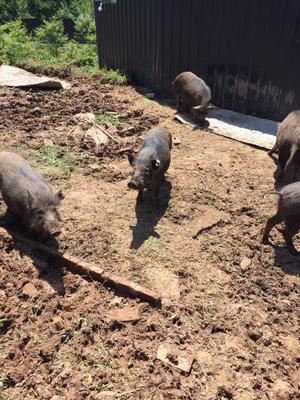 四川省巴中市通江县生态野猪 160斤以上 统货