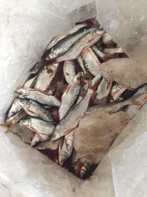 陕西省安康市汉滨区红尾鱼 野生 0.25-1公斤
