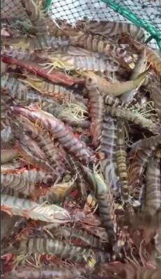 山东省青岛市城阳区斑节对虾 人工殖养 5-7钱