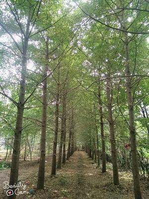 山东省枣庄市滕州市银杏实生树