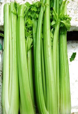 宁夏回族自治区固原市西吉县宁夏西芹 50~55cm 露天种植 0.5~1.0斤