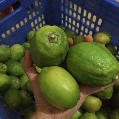广东省佛山市顺德区台湾四季青柠檬 3.3 - 4.5两